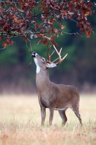 whitetailed deer essay The white-tailed deer in ohio have gained increased attention in recent years as the herd competes with civilization for habitat and the basics of a healthy.